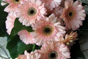 Trailing wedding bouquet with pink gerberas